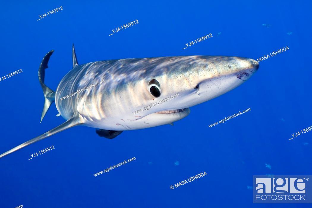 Stock Photo: blue shark, Prionace glauca, large female, Big Island, Hawaii, USA, Pacific Ocean.