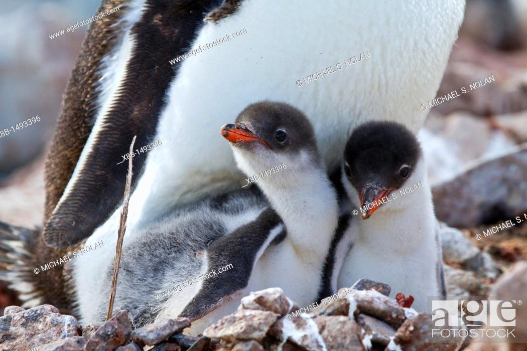 Imagen: Gentoo penguin Pygoscelis papua adult with chicks at breeding colony on Booth Island, Antarctica, Southern Ocean  MORE INFO The gentoo penguin is the third.