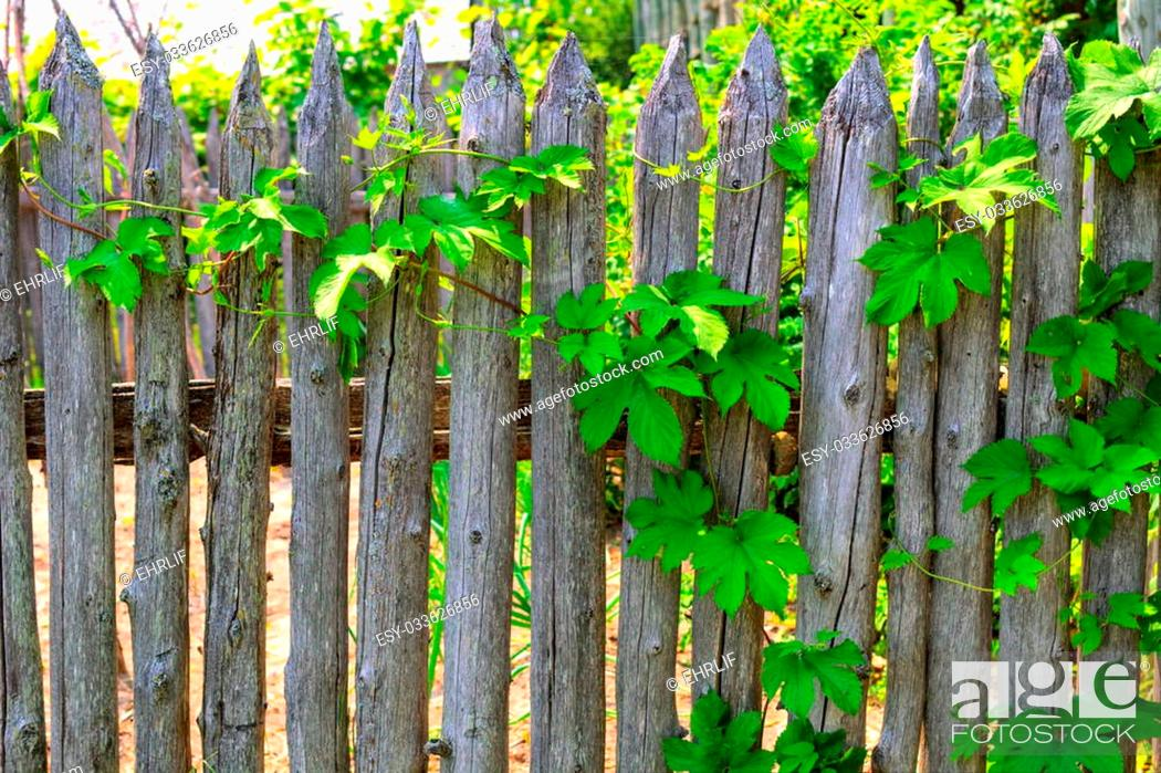 Simple And Rustic Garden Fence With Climbing Vine Stock Photo