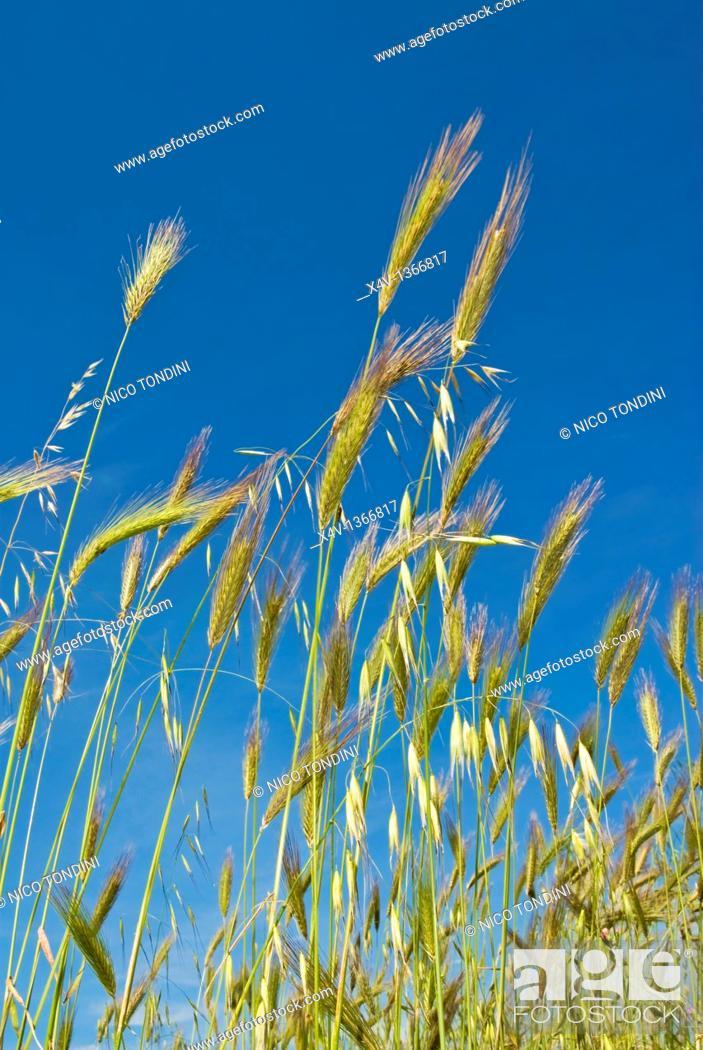 Stock Photo: Wheat field, Siena province, Tuscany, Italy.