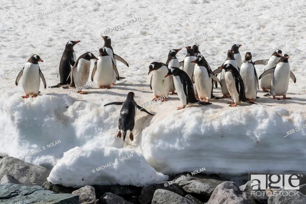 Stock Photo: Gentoo penguins, Pygoscelis papua, returning from the sea to Danco Island, Errera Channel, Antarctica.