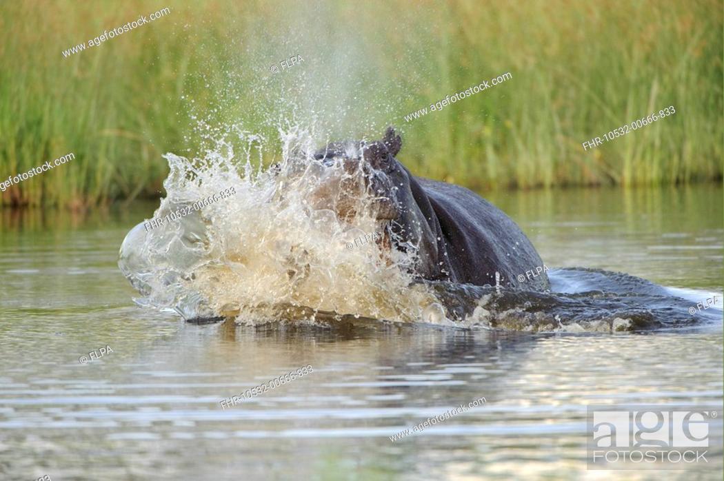 Stock Photo: Hippopotamus Hippopotamus amphibius adult, aggressive display in water, Kwando Lagoon, Linyanti, Botswana.
