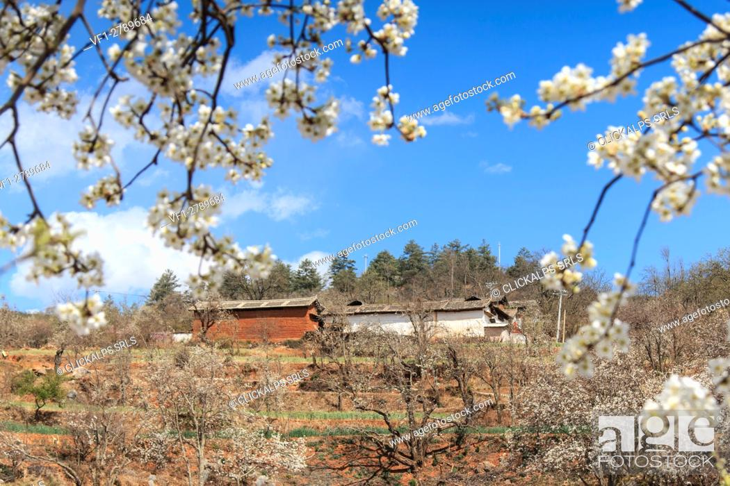 Stock Photo: Pear Trees in full bloom near the village on Heqing, Yunnan in China.