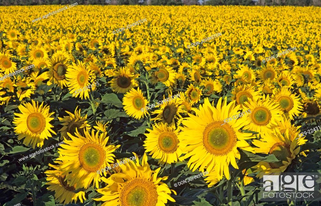 Stock Photo: Sunflower crop, Eastern North Dakota, North Dakota, USA.