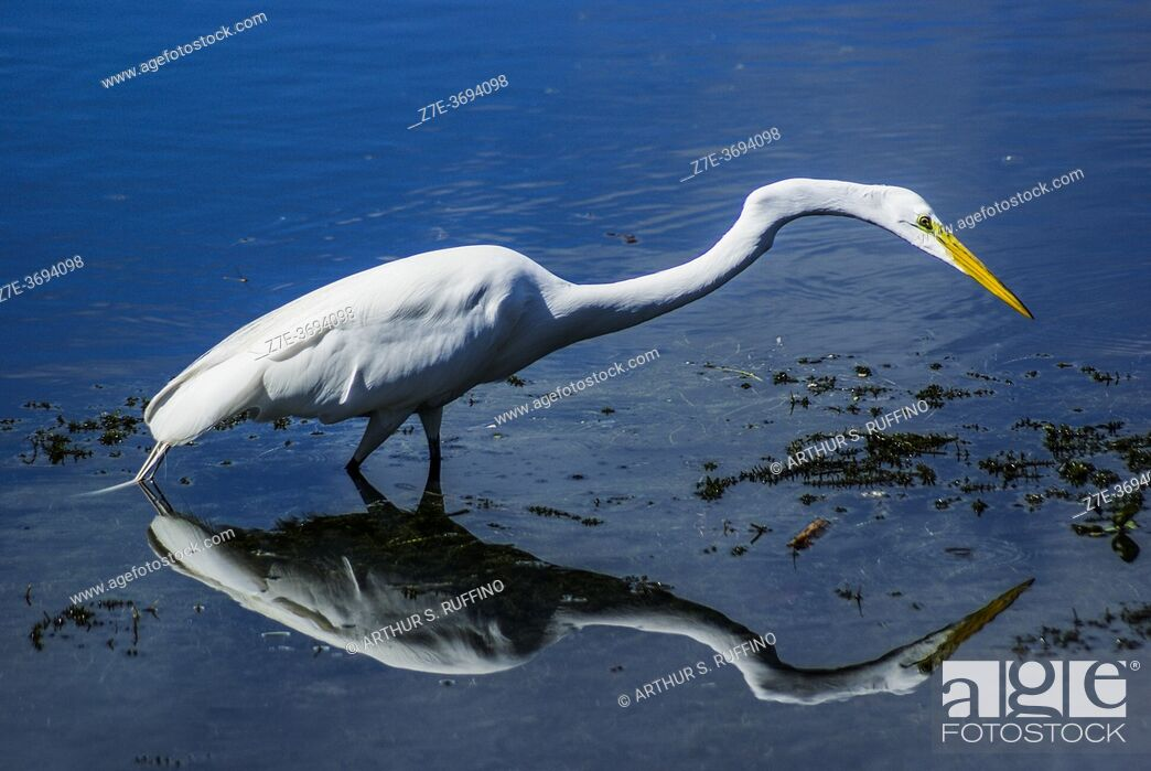 Stock Photo: Great egret (Ardea alba) reflected in water, stalking for prey. South Florida, U. S. A. , North America.