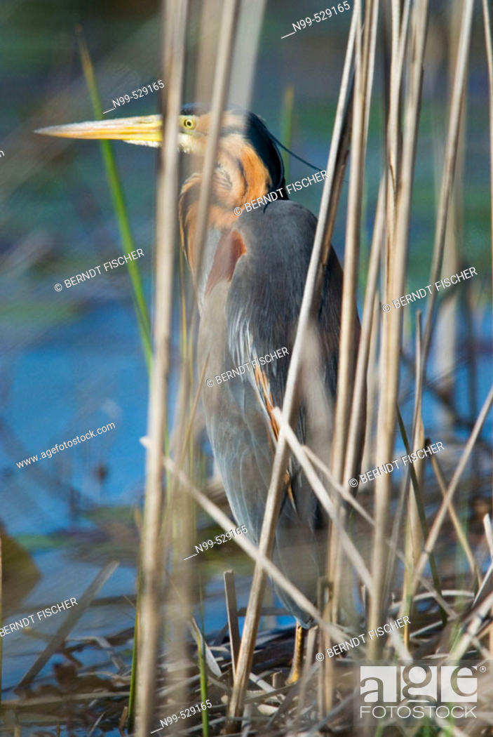 Stock Photo: Purple Heron (Ardea purpurea), hiding himself behind reed, camouflage, marsh in the flood-plain forest, near river Bojana, Montenegro (Crna Gora), river Buna.