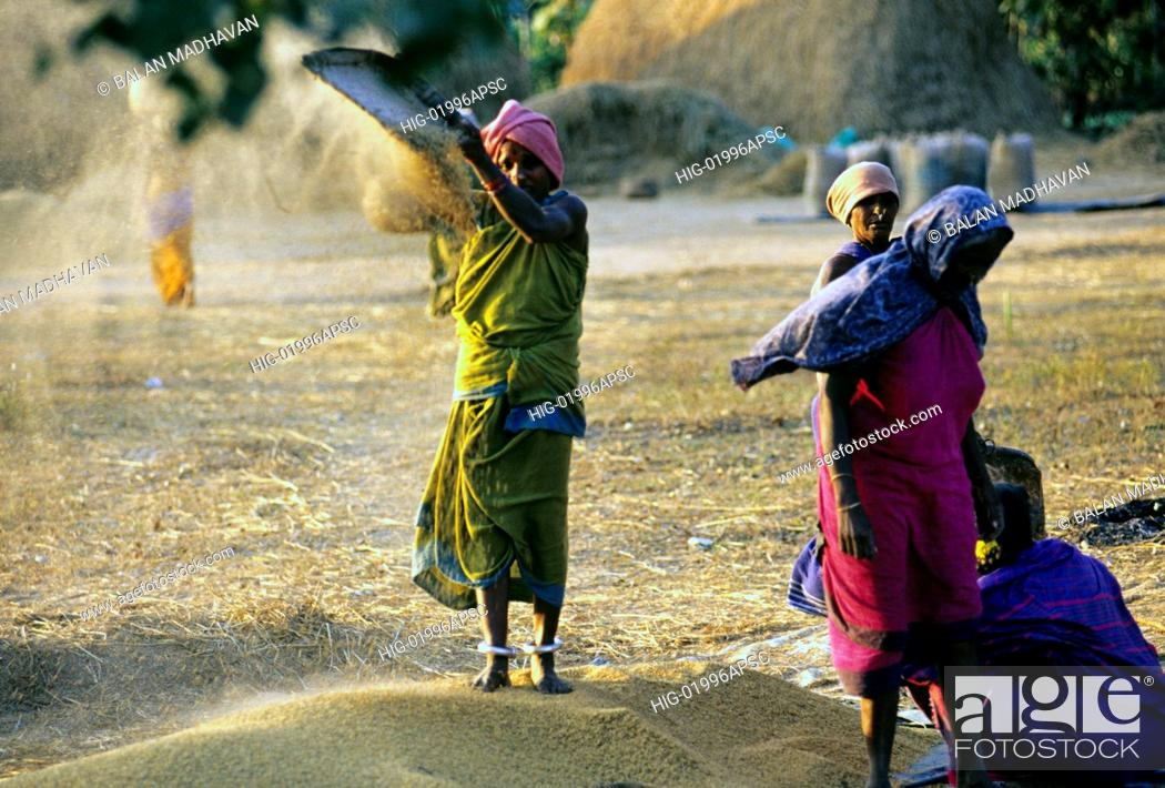 Stock Photo: WINNOWING IN RURAL ANDHRA PRADESH, INDIA.