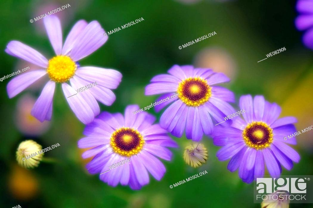Stock Photo: Swan River Daisies. Brachycome lberidifolia. June 2007. Maryland, USA.