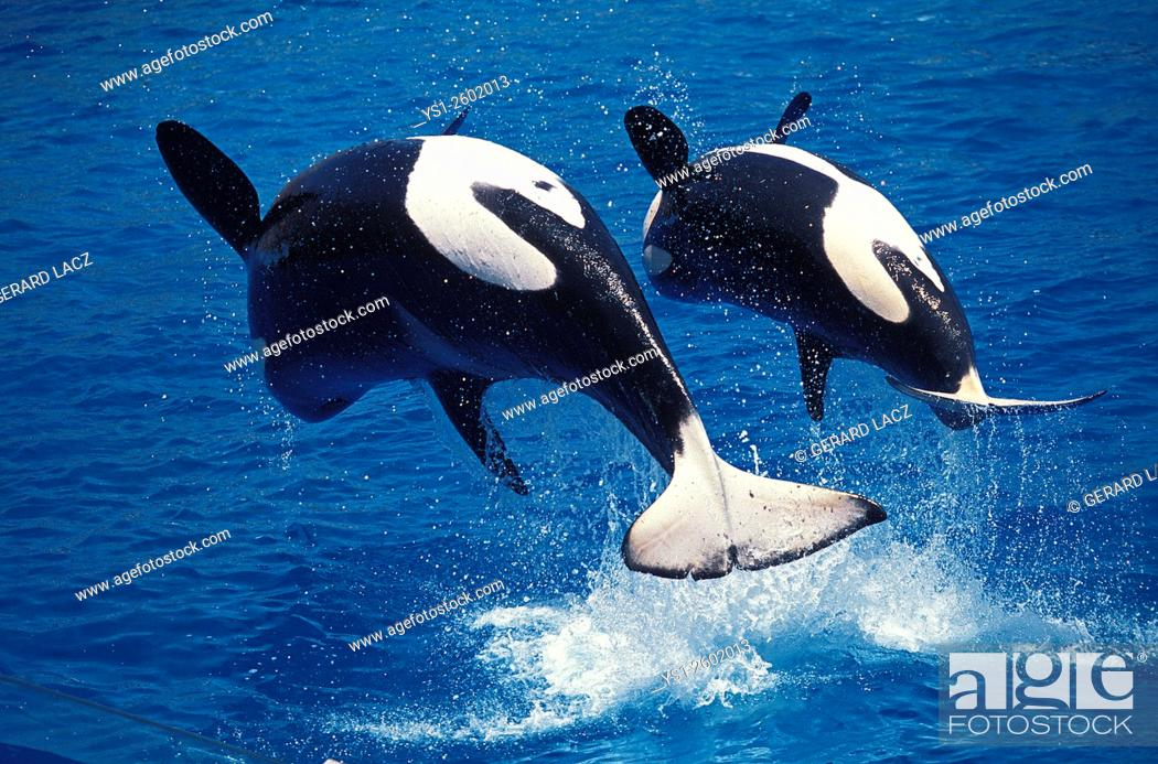 Imagen: Killer Whale, orcinus orca, Mother and Calf breaching.