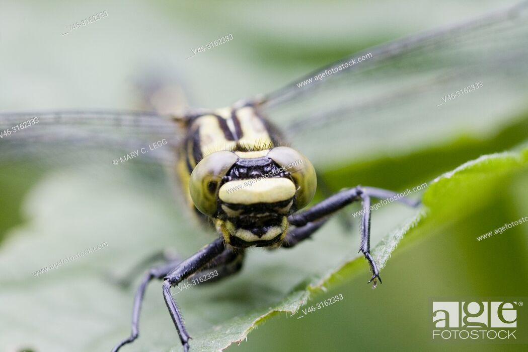 Stock Photo: Female Club-tailed Dragonfly, Gomphus vulgatissimus. Eyes.