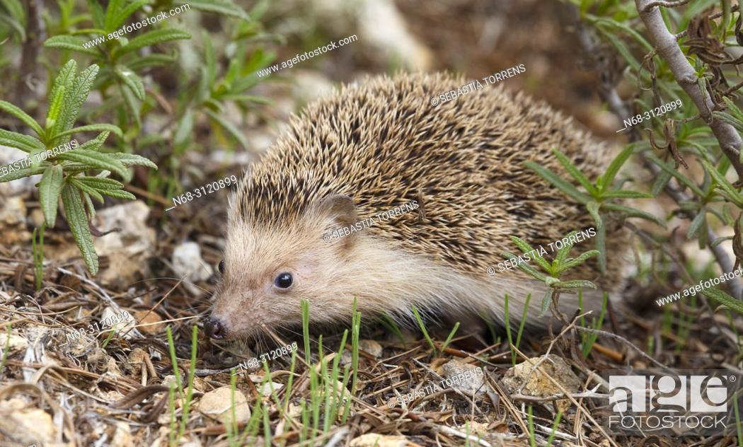 Stock Photo: Hedgehog (Atelerix algirus vagans), Alcudia, Majorca, Balearic Islands, Spain.