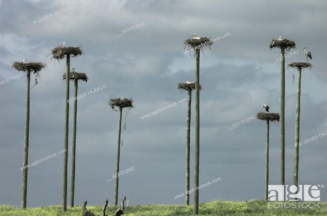 Photo de stock: White Storck (Ciconia ciconia) colony. Caceres. Extremadura. Spain.