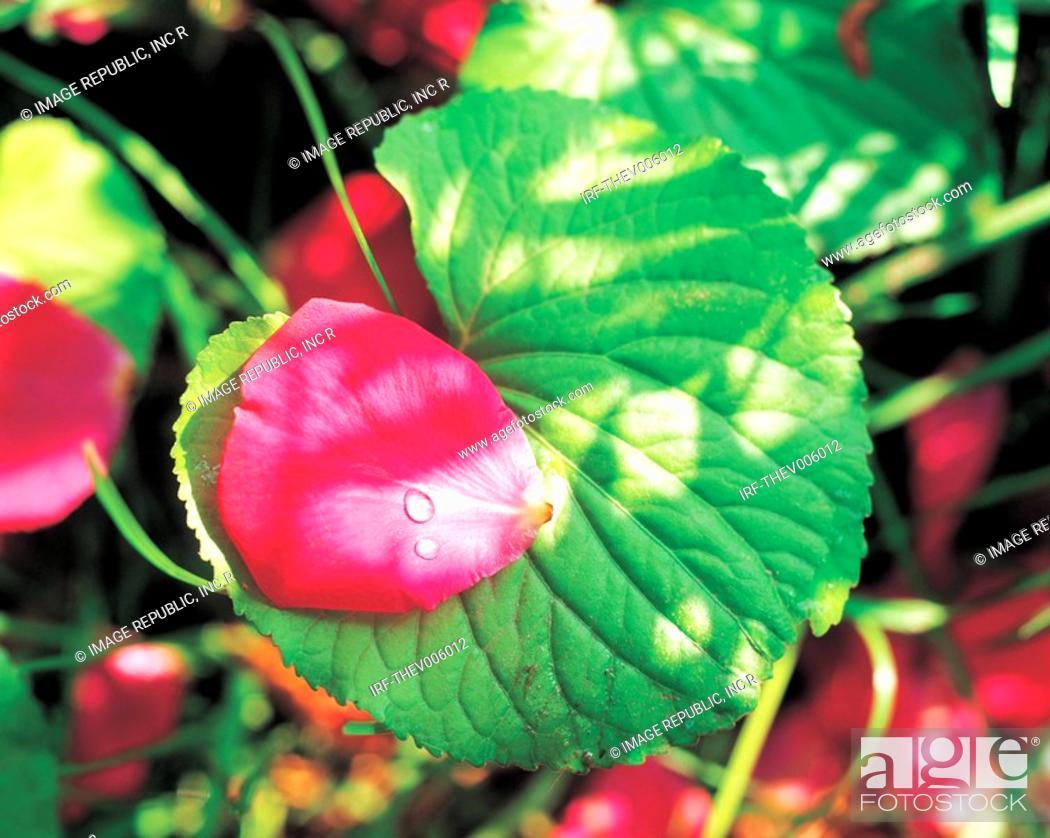 Stock Photo: petal on leaf.