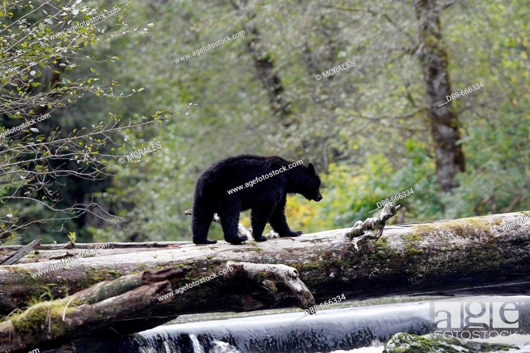 Stock Photo: Black Bear (Ursus americanus). British Columbia, Canada.