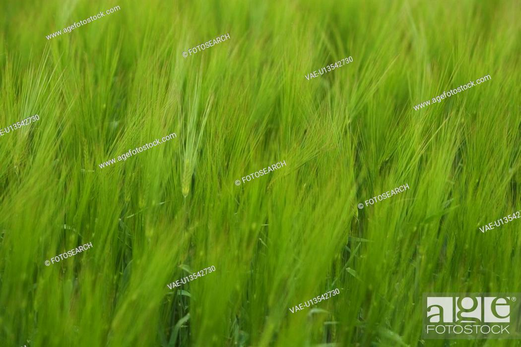 Stock Photo: Close-Up, Crop, Day, Field, Full Frame.
