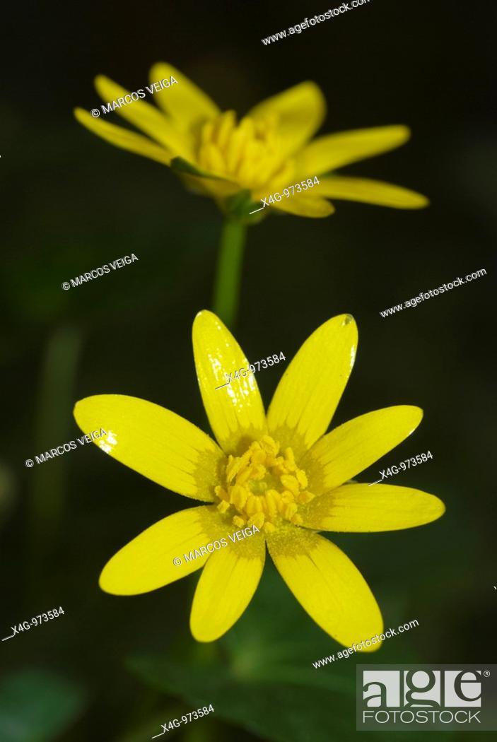 Stock Photo: Flores de celidonia menor  Lesser celandine flowers  Ranunculus ficaria  Pontevedra, España.