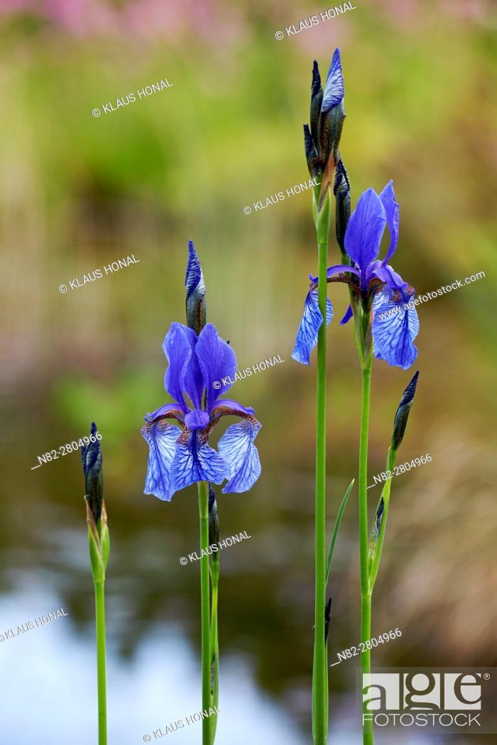 Stock Photo: Siberian iris (Iris sibirica) blooming in marsh forest meadow - Hesselberg region, Bavaria/Germany.