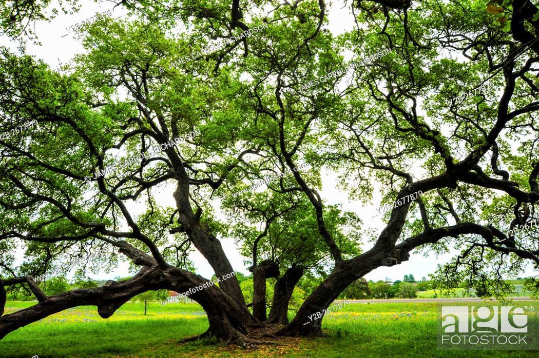 Stock Photo: Live oak tree in Washington County Texas.