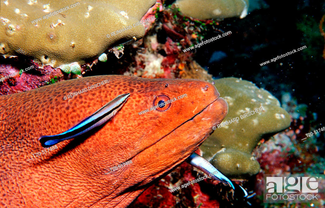 Stock Photo: Cleaner wrasse cleaning Yellow-margined moray, Labroides dimidiatus, Gymnothorax flavimarginatus. Indian Ocean, Ari Atoll. Maldives Islands.