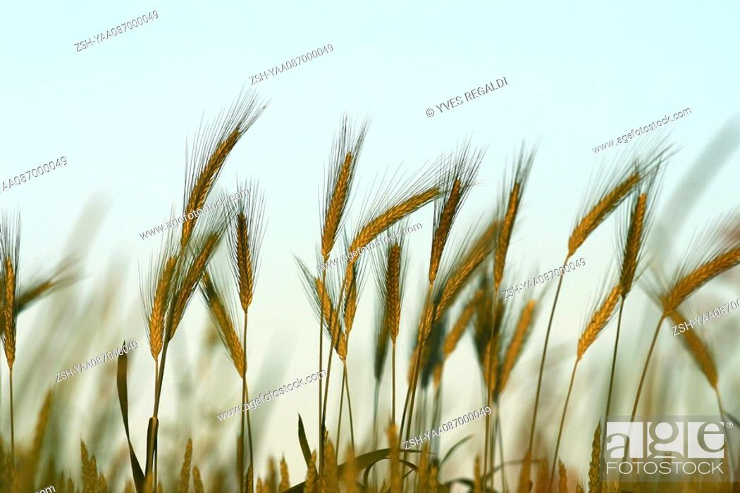 Stock Photo: Wheat growing, close-up.