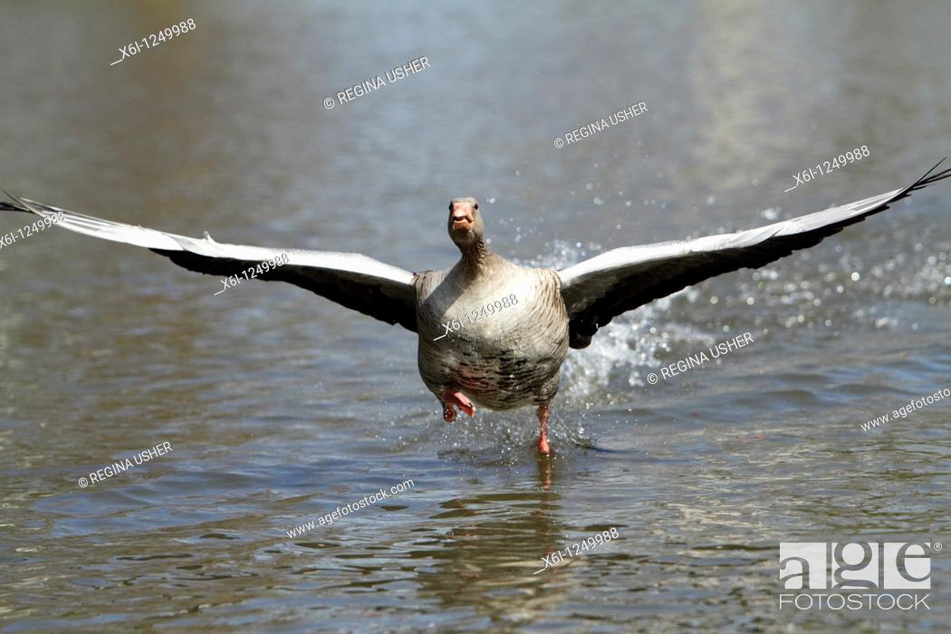Stock Photo: Greylag Goose Anser anser, gander running across water surface, displaying to female during breeding season, Germany.