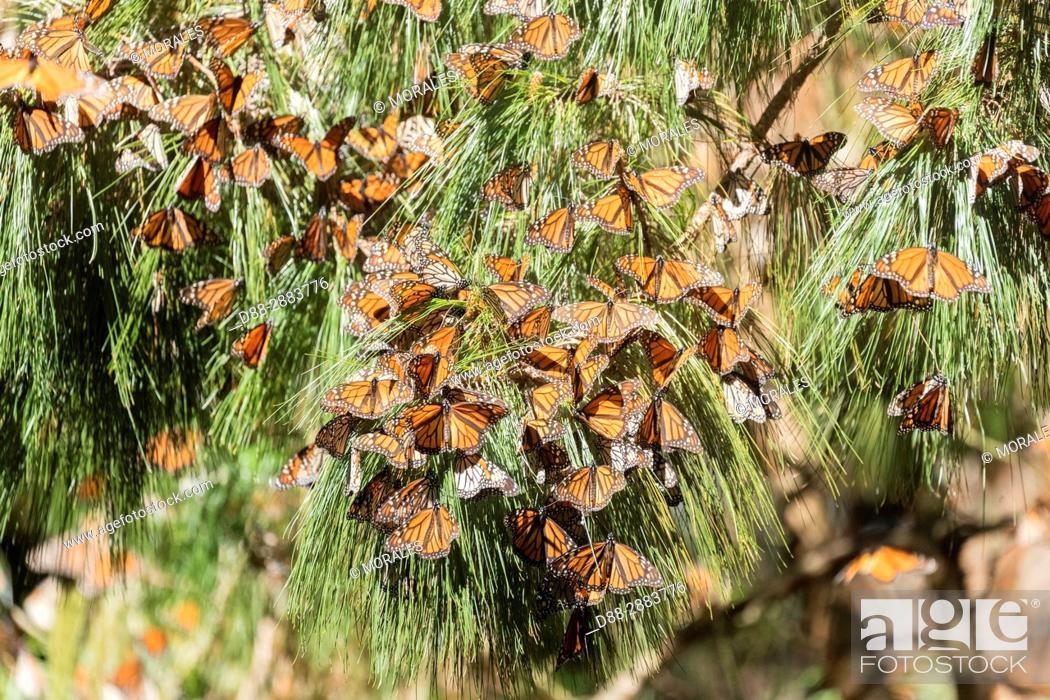 Imagen: Central America, Mexico, State of Michoacan, Angangueo, Reserve of the Biosfera Monarca Sierra Chincua, monarch butterfly (Danaus plexippus).