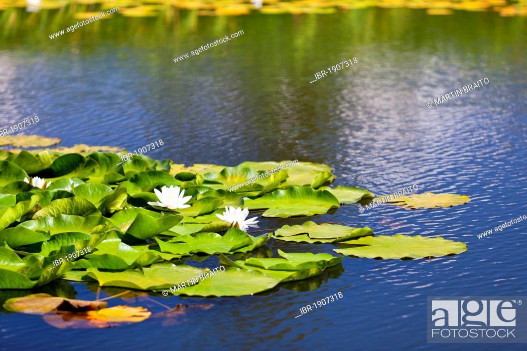 Stock Photo: Waterlilies (Nymphaea) on a mountain lake.