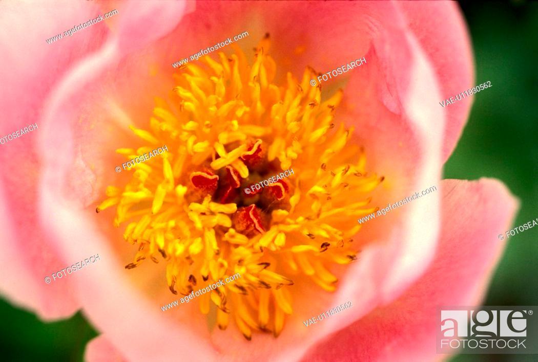 Stock Photo: stempel, abloom, Bernhard, bloom, blooms, blossom.