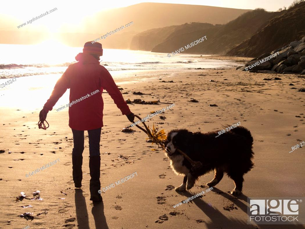 Stock Photo: woman playing with a Bernese Mountain Dog on the beach, Robin Hoods Bay, Yorkshire, Britain.