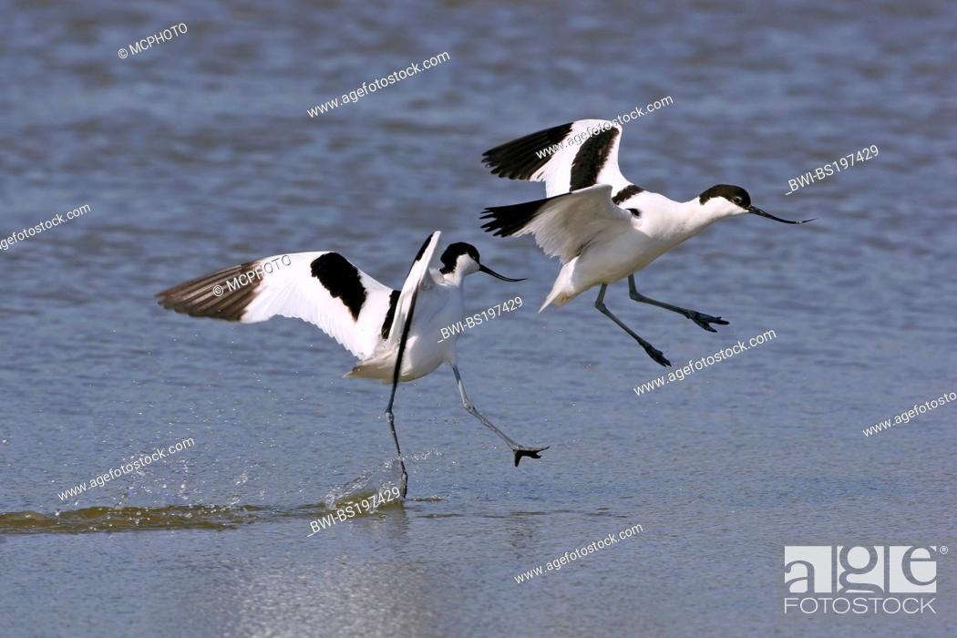 Stock Photo: pied avocet (Recurvirostra avosetta), landing in water, Netherlands, Texel.