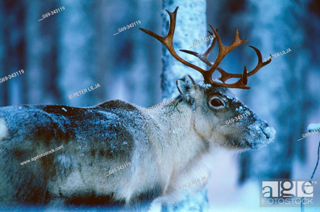 Stock Photo: Reindeer (Rangifer tarandus). Svansele, Västerbotten, Sweden.
