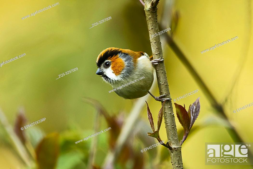 Stock Photo: Black-throated parrotbill, Suthora nipalensis, Eastern Himalayan Birds, Lava, India.