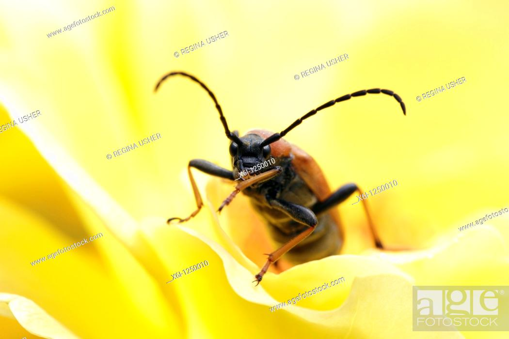 Stock Photo: Long-horn Beetle Leptura rubra, feeding on rose in garden, Germany.