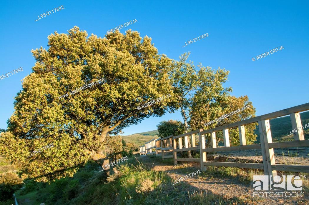 Stock Photo: Green Oak tree (Quercus ilex), Spain.