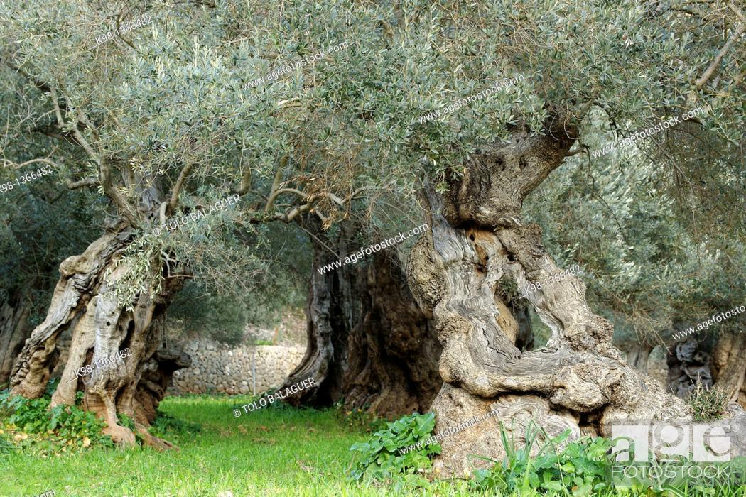 Stock Photo: Centennial olive trees, Sa Bassa, Serra de Tramuntana, Bunyola, Majorca, Balearic Islands, Spain.