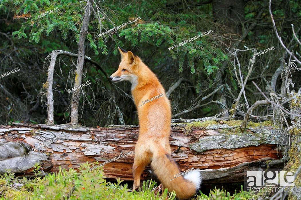 Stock Photo: Red Fox (Vulpes vulpes), young.