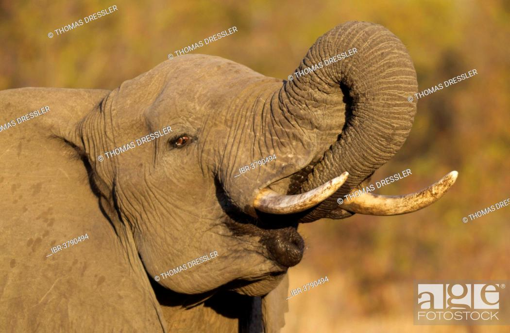Stock Photo: African Elephant (Loxodonta africana), bull drinking, Kruger National Park, South Africa.