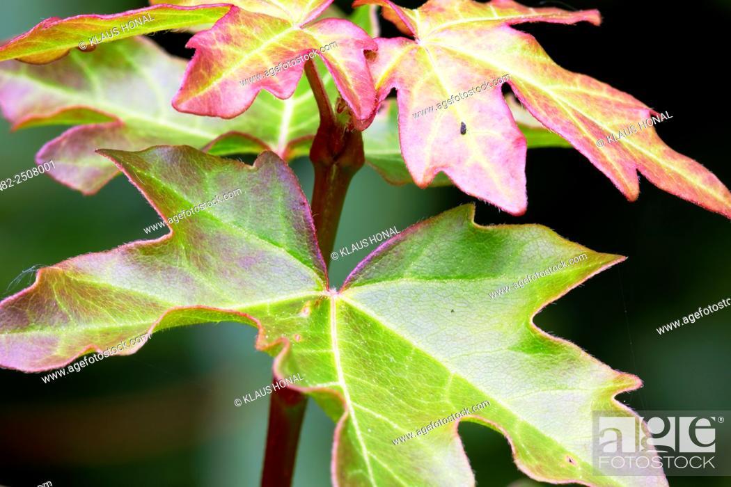 Imagen: Leaves of Field Maple Acer campestre - Central Franconia, Bavaria/Germany.