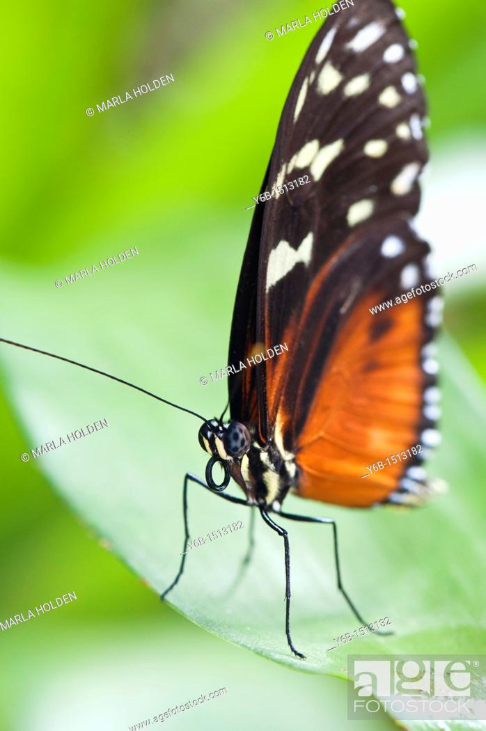 Stock Photo: Hecale Longwing Heliconius hecale.