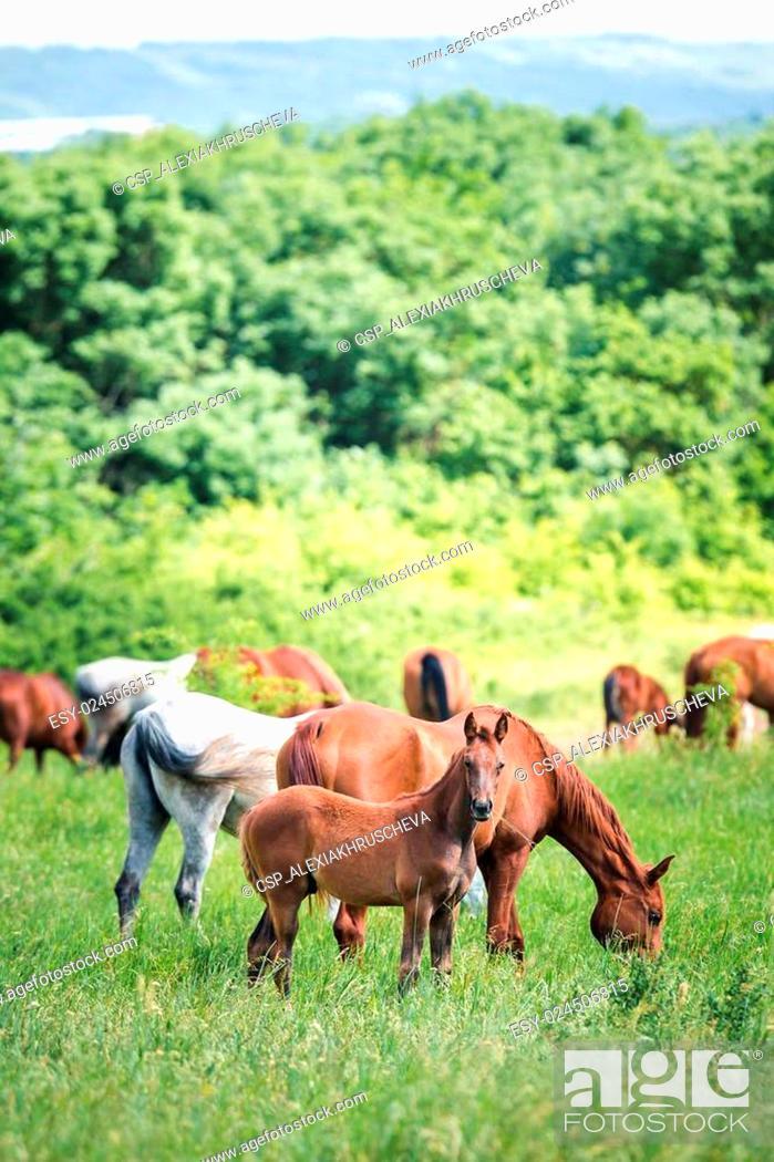 Stock Photo: Herd of horses eating grass.