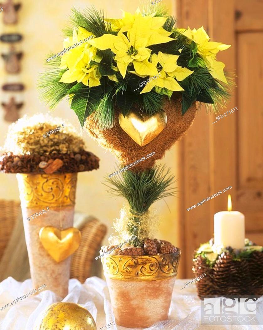 Stock Photo: Yellow poinsettia 'Lemon Snow' with Advent decorations.