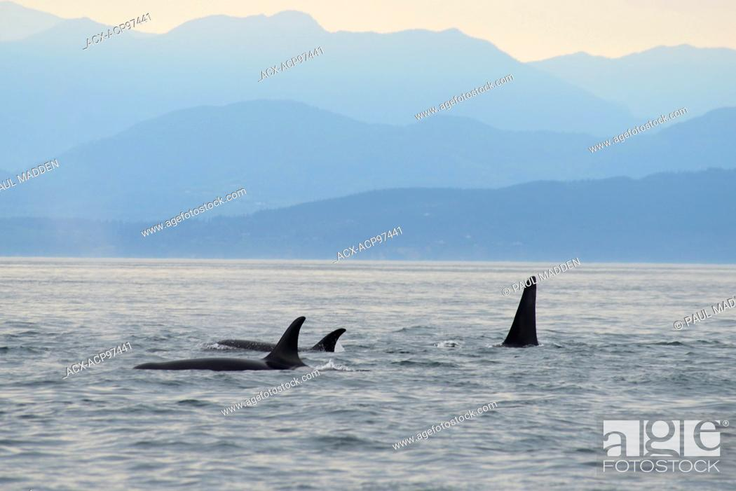 Stock Photo: Orca whales, Orcinus orca, off Vancouver Island near Victoria, BC, Canada.