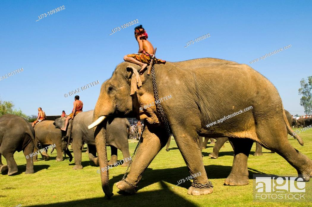 Stock Photo: Elephants marching into Surin soccer stadium during the annual elephant roundup.