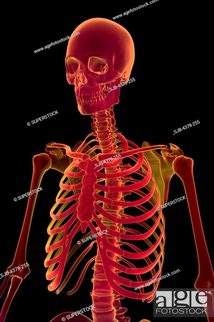 stock photo - three-quarter stylized view of the bones the upper body