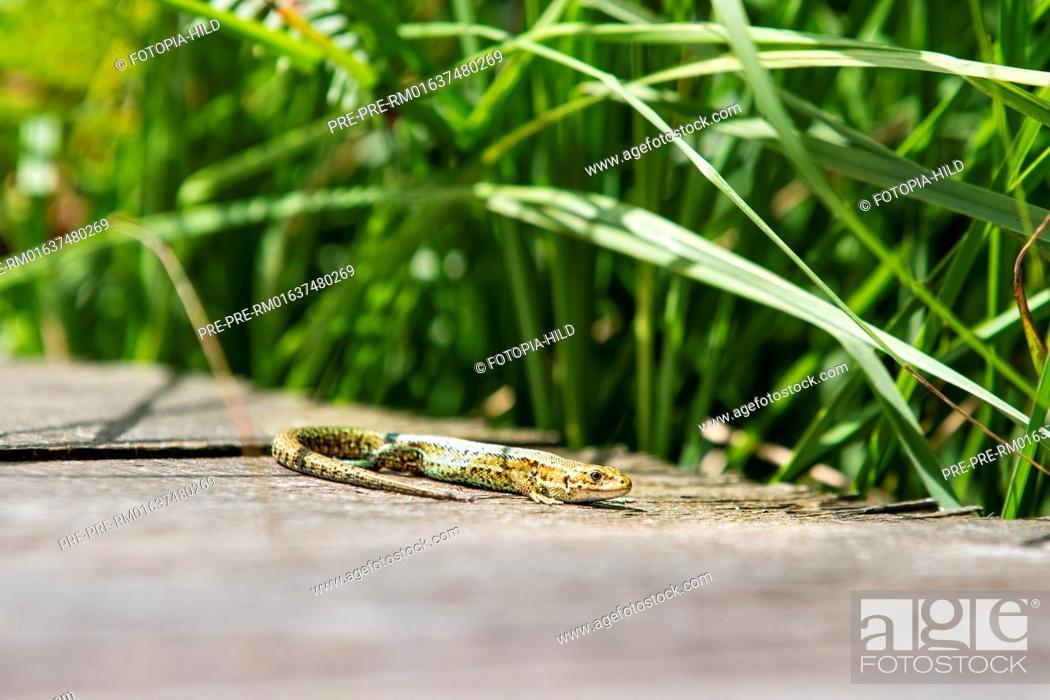 Imagen: Viviparous lizards (Zootoca vivipara) at Hühnerfeld nature reserve, Kaufunger Wald, Göttingen district, Lower Saxony, Germany / Waldeidechse (Zootoca vivipara).