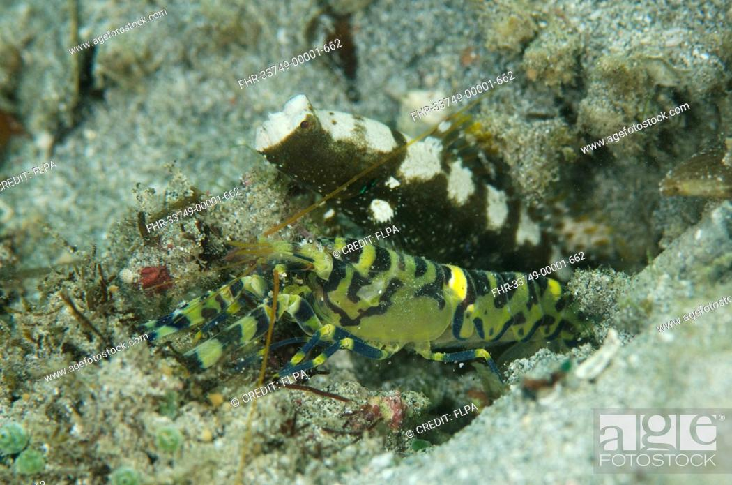 Stock Photo: Marbled Snapping Shrimp (Alpheus rapax) adult, and Saddled Shrimpgoby (Cryptocentrus leucostictus) adult, at entrance to shared burrow, Candidasa, Bali.