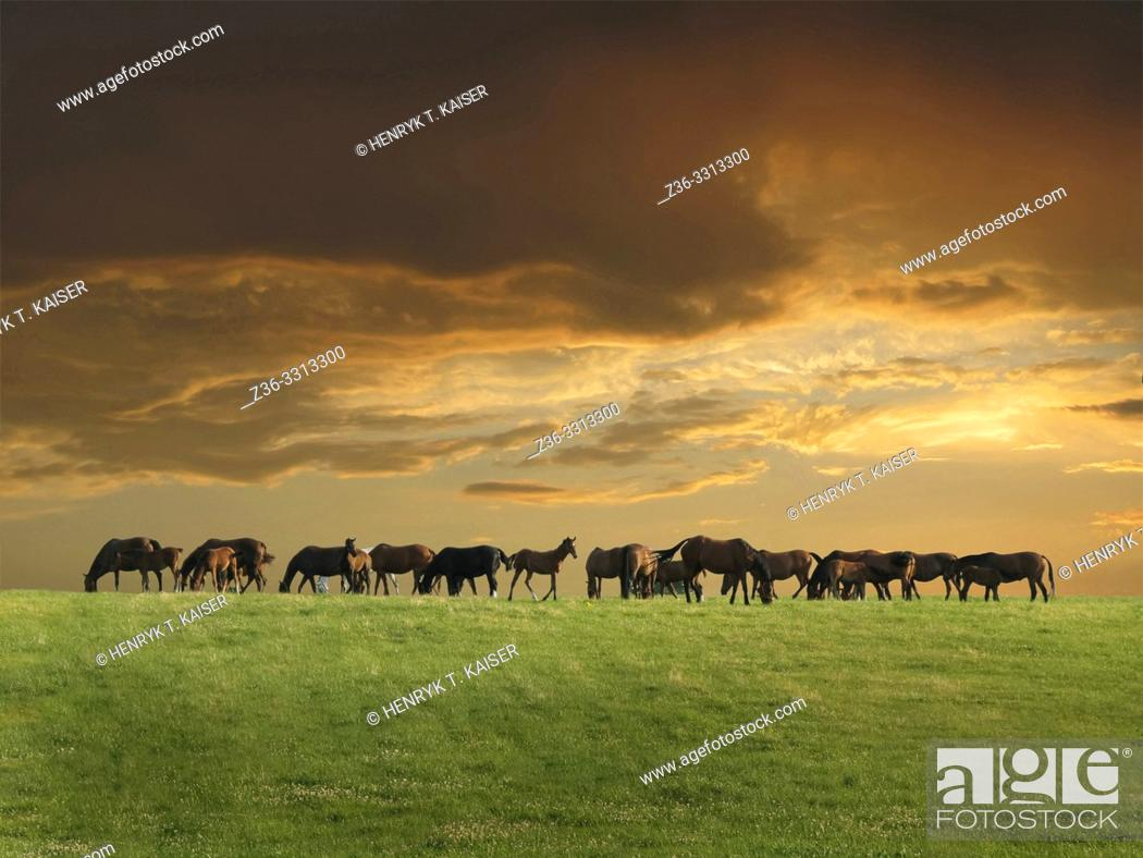 Stock Photo: Horses grazing on a field at sunset, Lesser Poland.