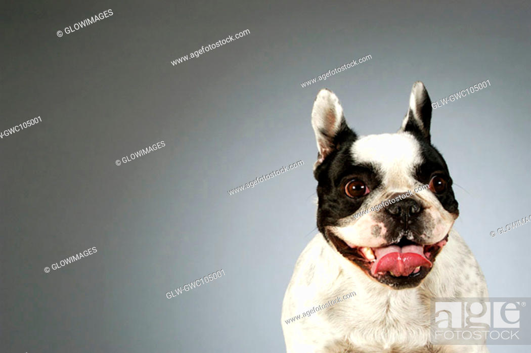 Stock Photo: Portrait of a Boston Terrier.