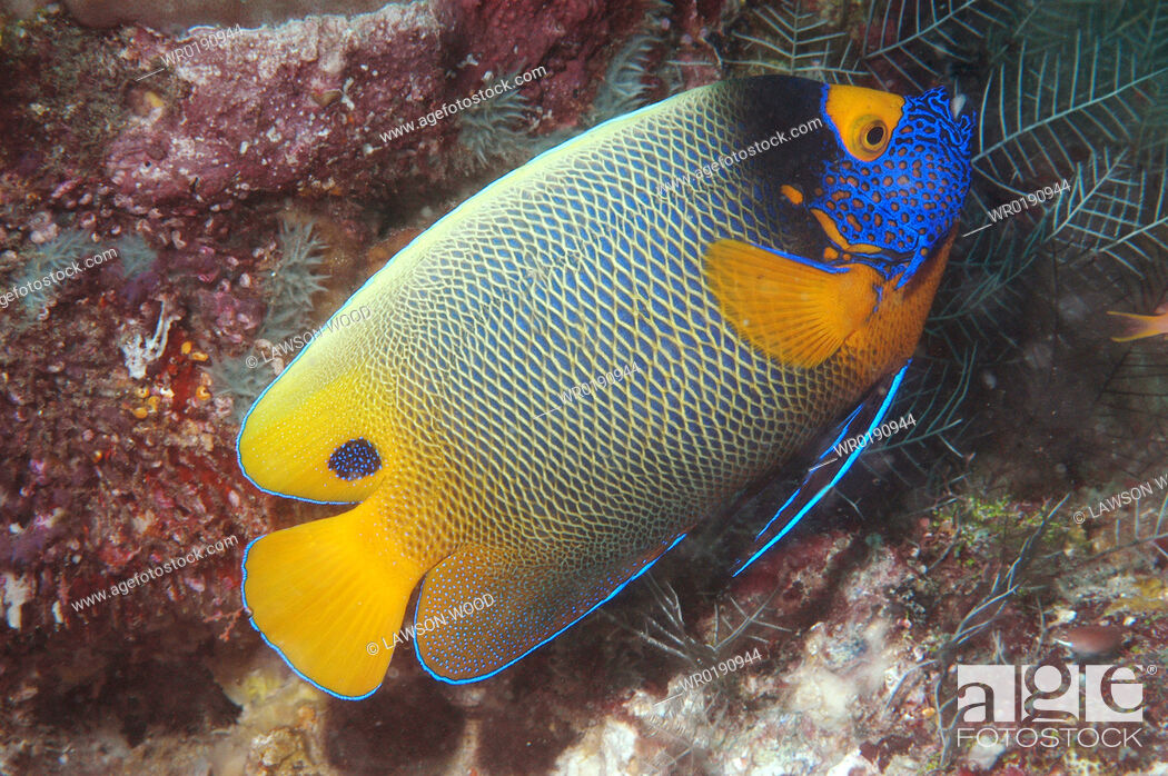 Imagen: Painted Angelfish Pomacanthus xanthometopon, superb profile of fish swimming diagonally showing all markings, Sipadan, Mabul,.