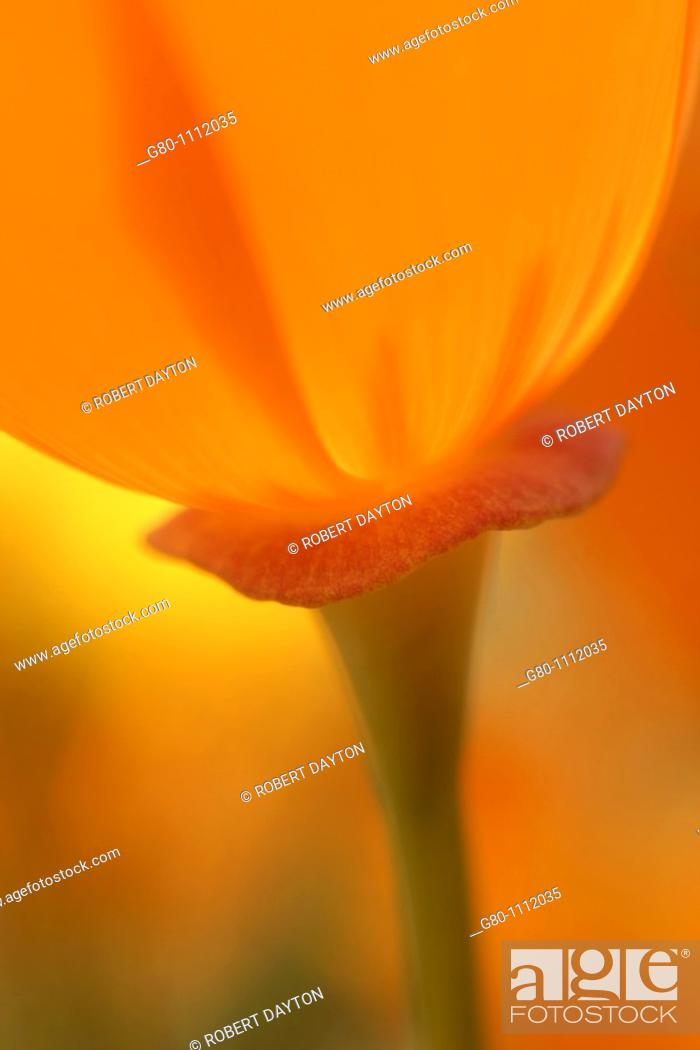 Stock Photo: An ethereal rendition of a Poppy.